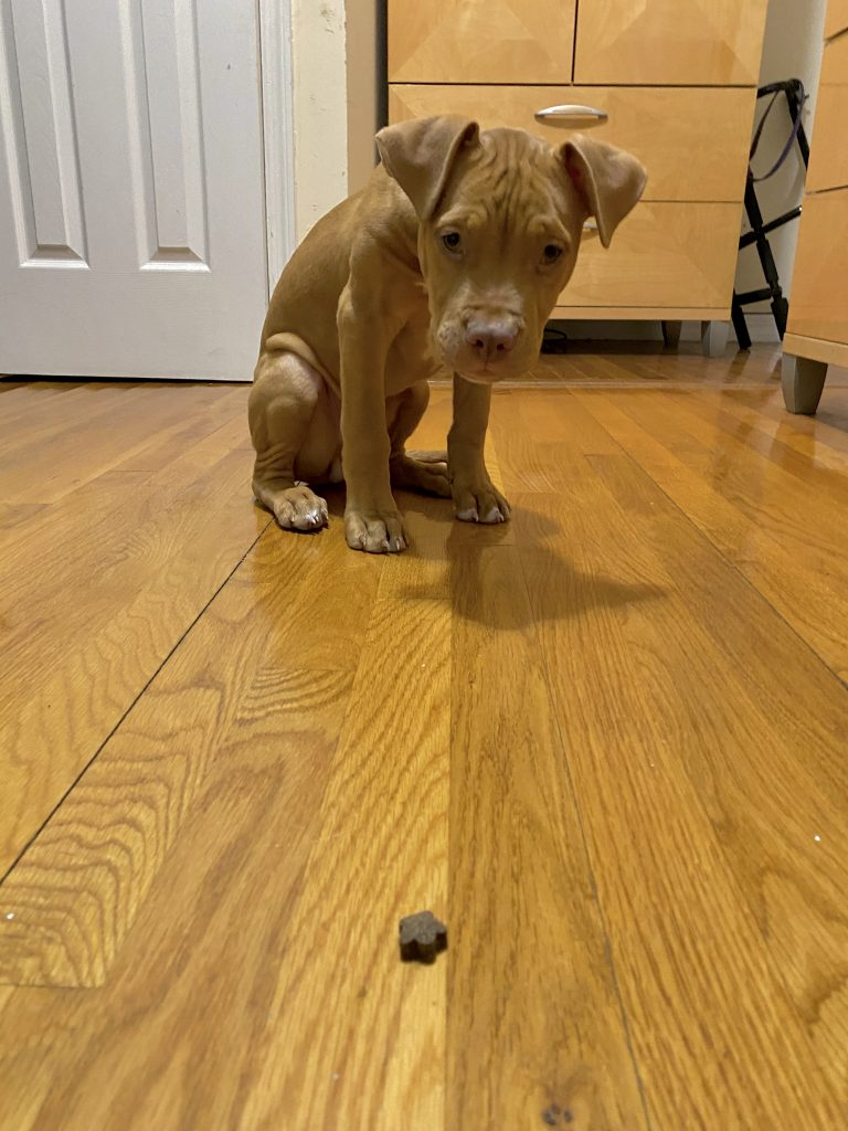 train a dog to stay puppy looking at treat